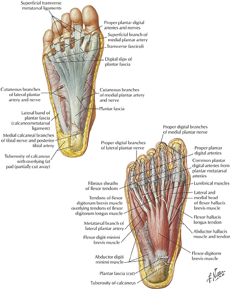 plantar and superior anatomy of the foot