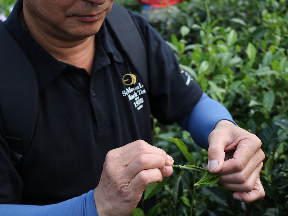 Our friend Mr. Xie shows us the flexability of tea leaves.