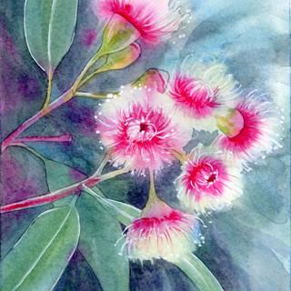 Flowering Gum- Fairy Floss