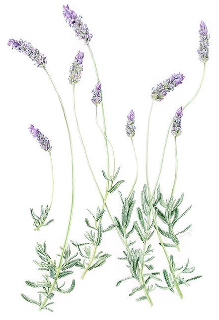 Lavender%20French%20A3%20web_edited.jpg