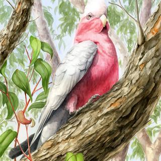 Regal Pink Galah