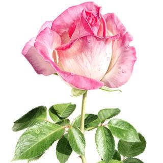 Byron's Rose