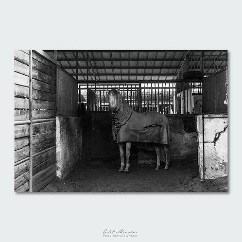 סוס באורווה, צילום בשחור לבן, תמונה למכירה