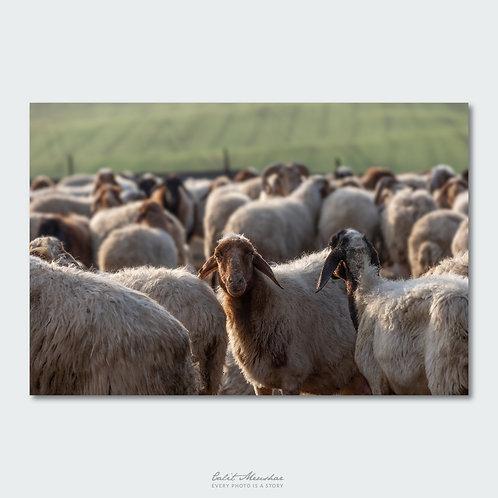 כבש בין עדר כבשים, תמונה למכירה