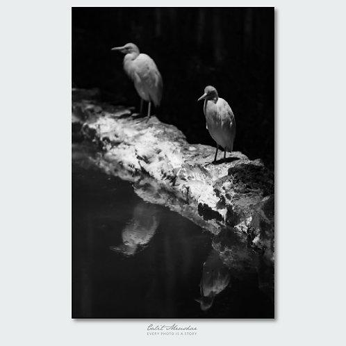 אנפית הבקר, גן החיות הלימודי חיפה, צילום שחור לבן