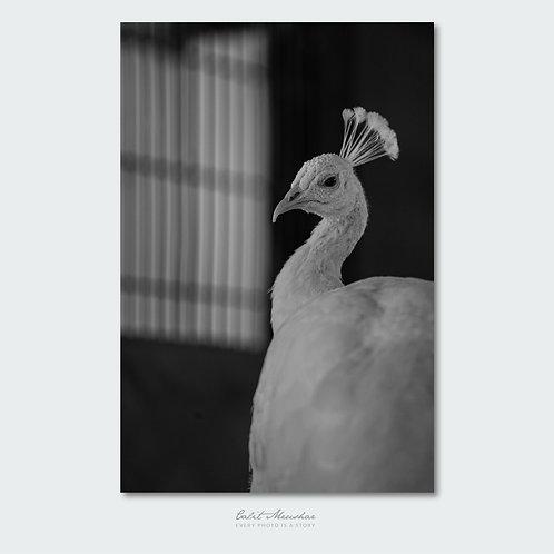 טווס לבן, צילום שחור לבן, תמונה למכירה