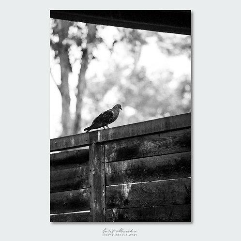 יונה בחווה, צילום בשחור לבן, תמונה למכירה