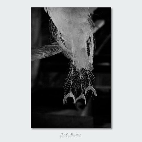 זנב טווס לבן, צילום שחור לבן תמונה למכירה