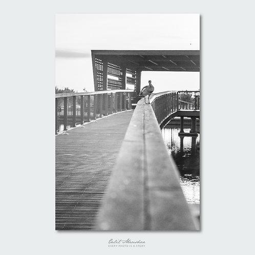 ברווז בפארק צילום שחור לבן
