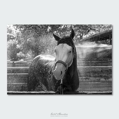 סוס מתקלח בחווה, צילום בשחור לבן, תמונה למכירה