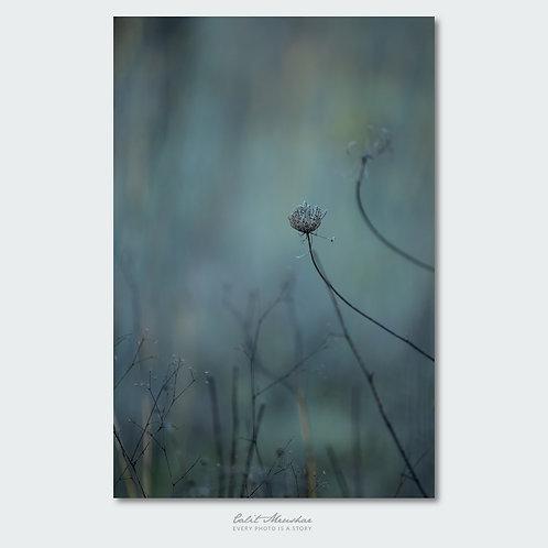 פרח גזר קפח יבש