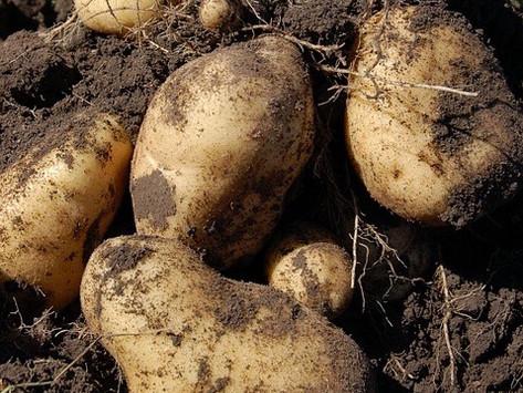potatoes (solanum tuberosum)