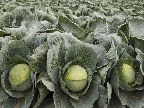 white cabbage (nam albus brassica)