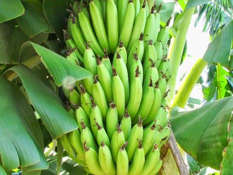 banana (musa sapientum fixa)