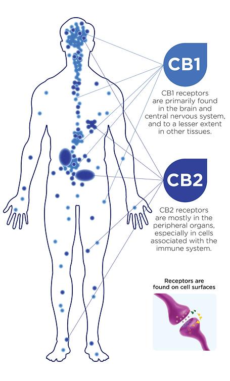 endocannabinoid-system (1).png
