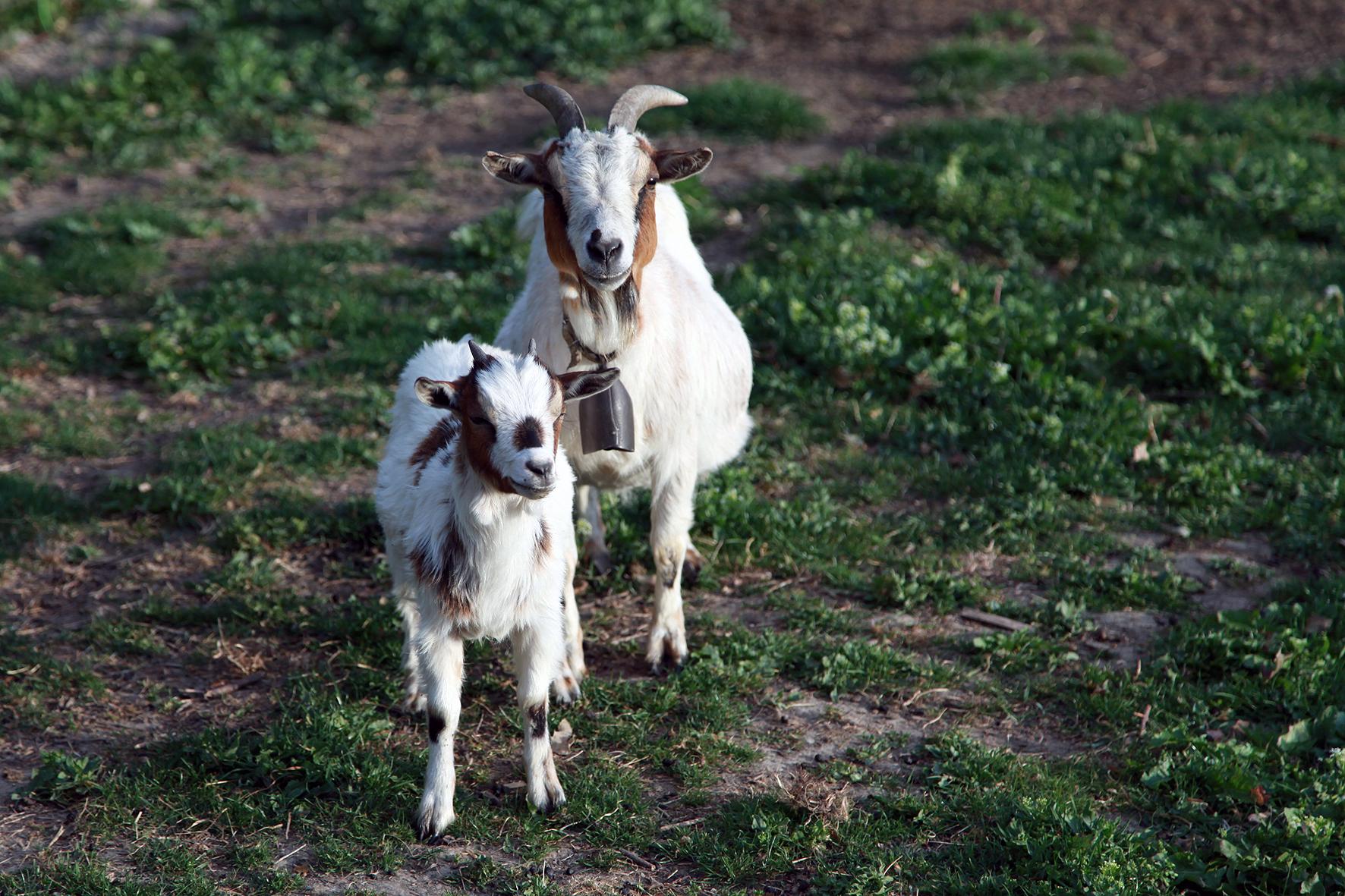 Cabras Anãs