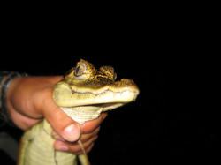 Jacaré na Amazônia