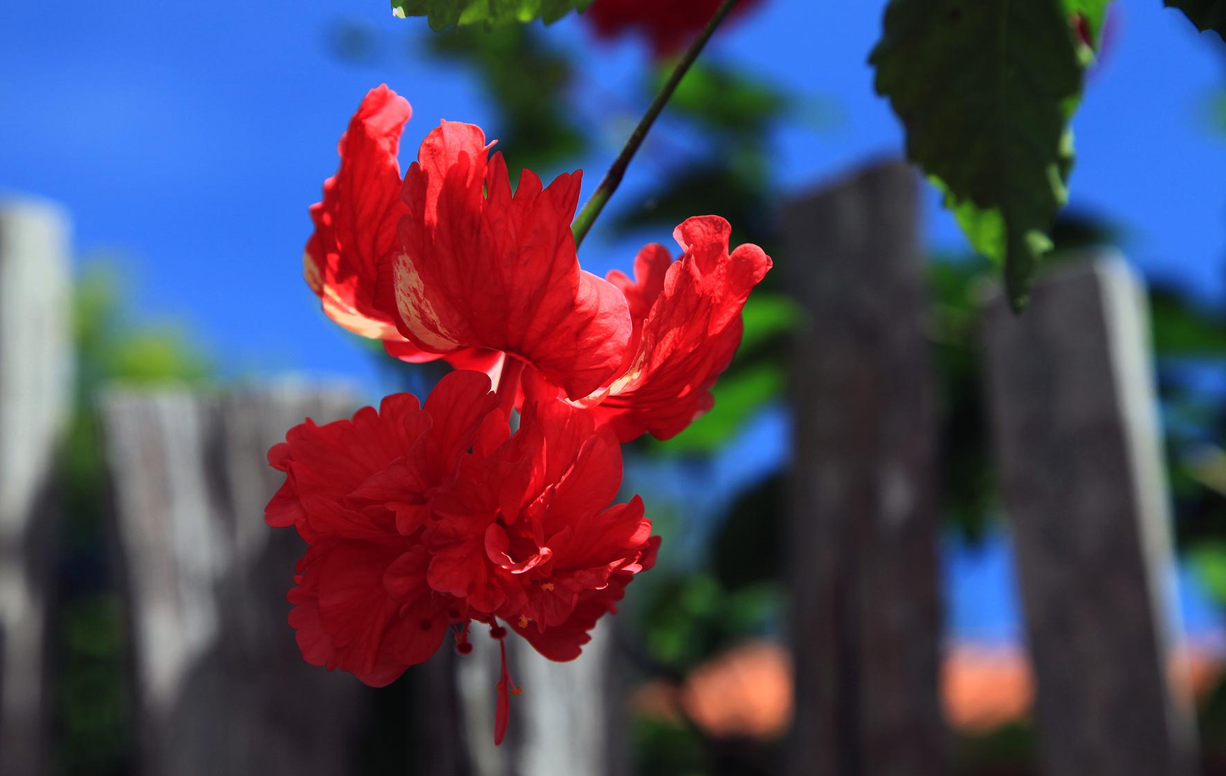 Flor de Hisbisco