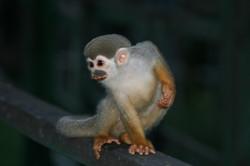 Macaco de Cheiro