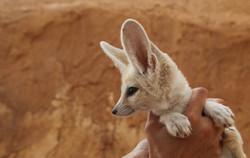 Raposa do Deserto - توزر