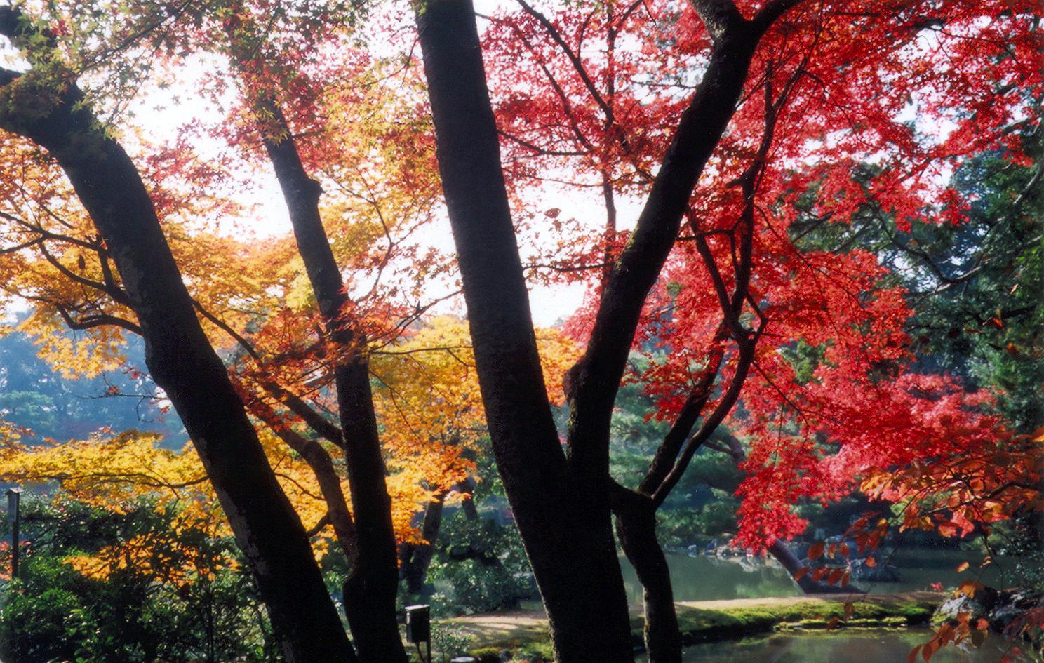 Momijis - 紅葉