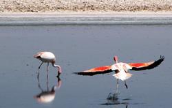 Flamingos Atacamenhos