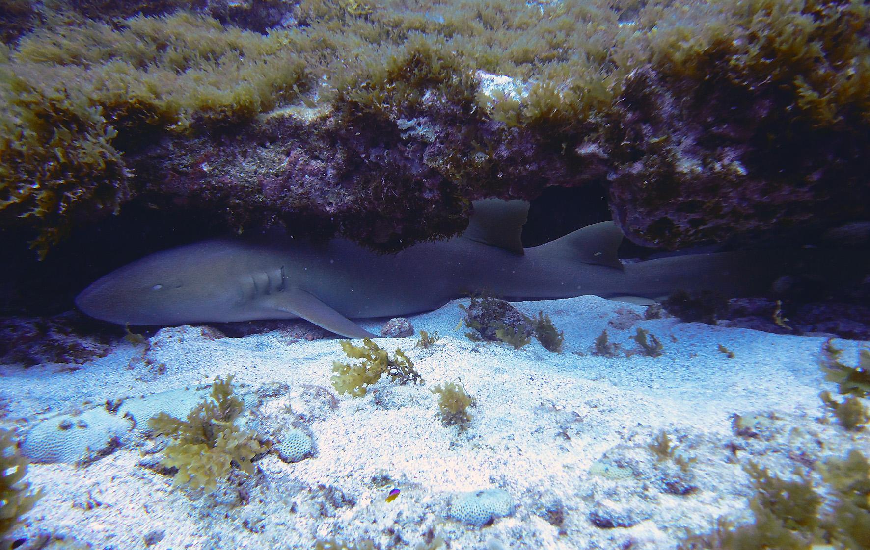 Tubarão Lixa