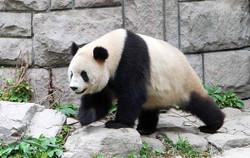 Panda - 大熊猫