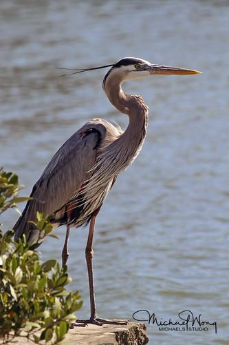 Great Blue Heron_WEB.jpg