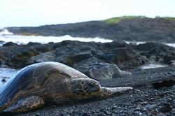 Turtle_Hawaii.jpg