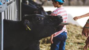 Aumento da produção de leite e bem estar animal: conheça o compost barn