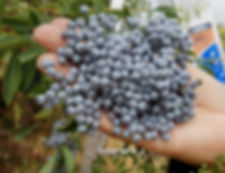 elderberry_antiviral_cold and flu
