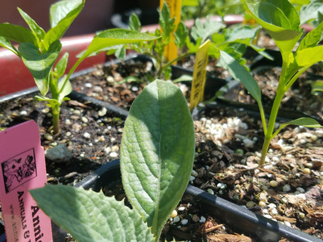 Backyard Herbalism