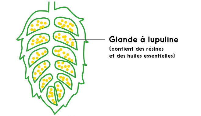 Houblon Coupe Bieres Tourmente.jpg