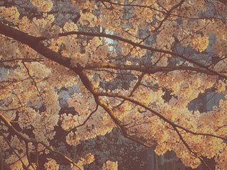 桜 / Cherry blossoms