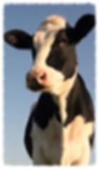 cow2_edited_edited.jpg 2015-4-2-23:21:30