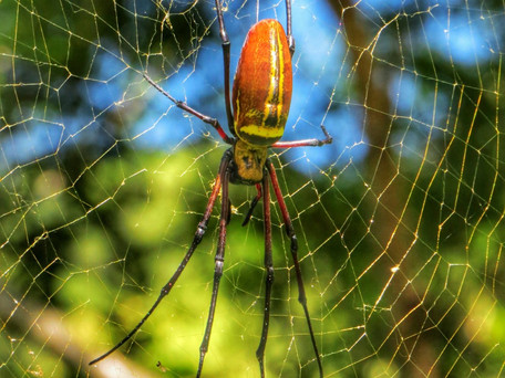 Taiwanese Spiders (Less Scary and More Beautiful than you Think!)