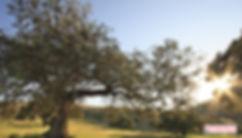 El chaparro, milenarias especies en pequeñas dehesas, Priego de Córdoba