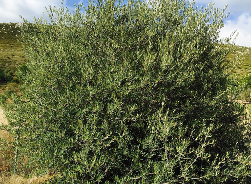 Delice zeytin (Olea oleaster)