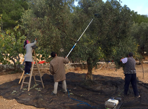 2016 yılı zeytin hasadımızı tamamladık