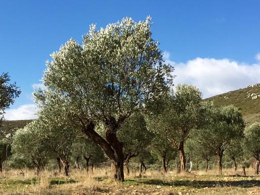 Zeytin ağacından soframıza...