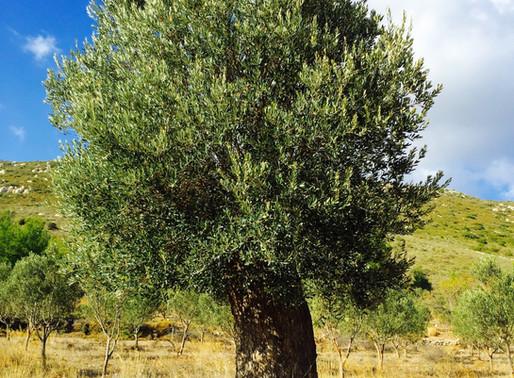 Yaşlı ağacımızı gençleştirdik!