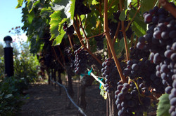 Jacuzzi Vineyards