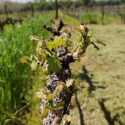 Blooming Vine