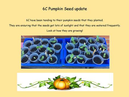 6C Pumpkin