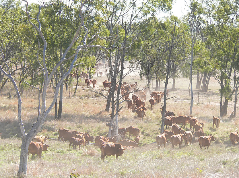 Some of the Strathfield cows crossing Logan Creek