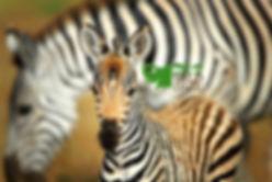 zebra foal_logo.jpg