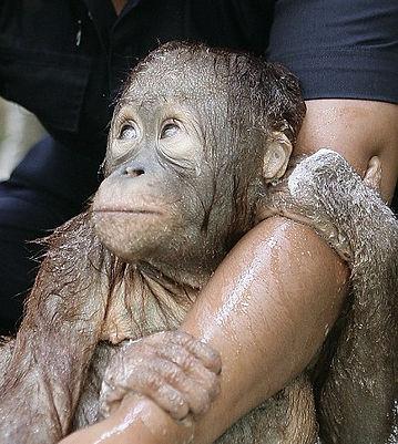baby orang getting bath.jpg