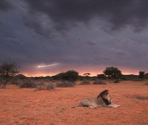male lion wide lightning.jpg