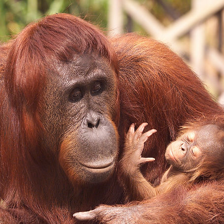MOTHER ORANGUTAN holding newborn CU Mich